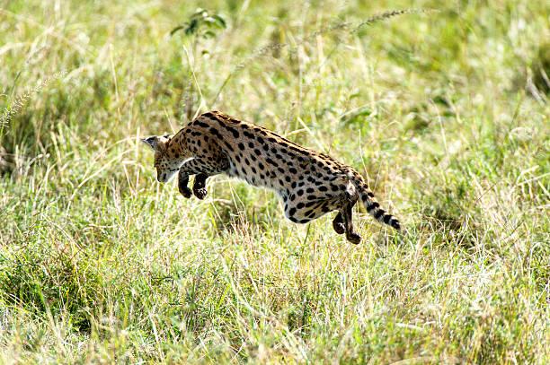 Serval hunting in the grass:スマホ壁紙(壁紙.com)