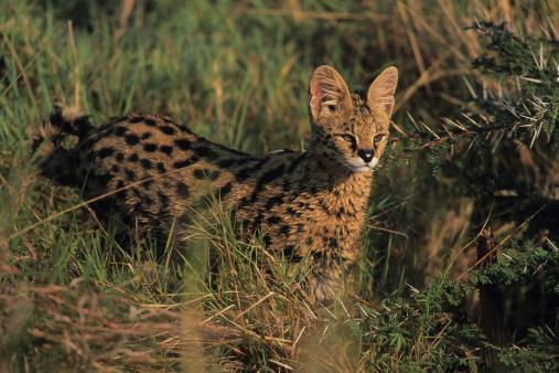 Crouching「Serval (Felis serval) hunting in grass, Kenya」:スマホ壁紙(11)