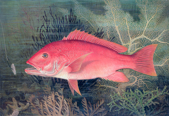 魚・熱帯魚「Red Snapper 1878」:写真・画像(18)[壁紙.com]
