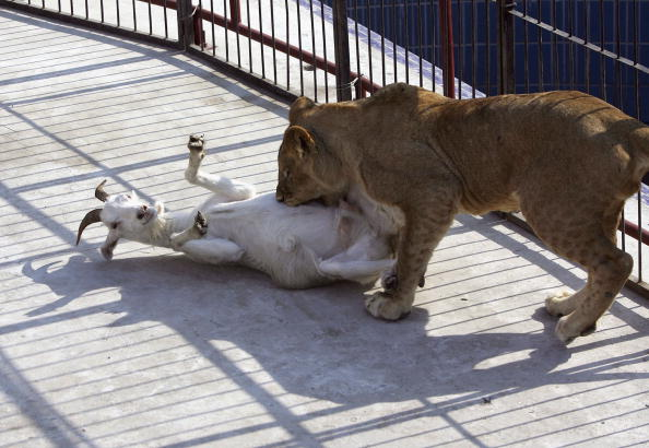 Animals Hunting「Captive Animals Hunt Live Prey At Changchun Wildlife Park」:写真・画像(1)[壁紙.com]