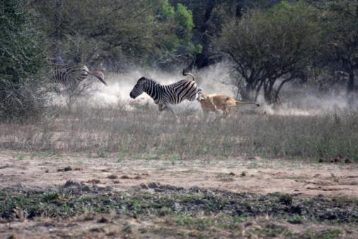 Animals Hunting「Lion attacks Zebra in Kruger Park, South Africa」:スマホ壁紙(10)