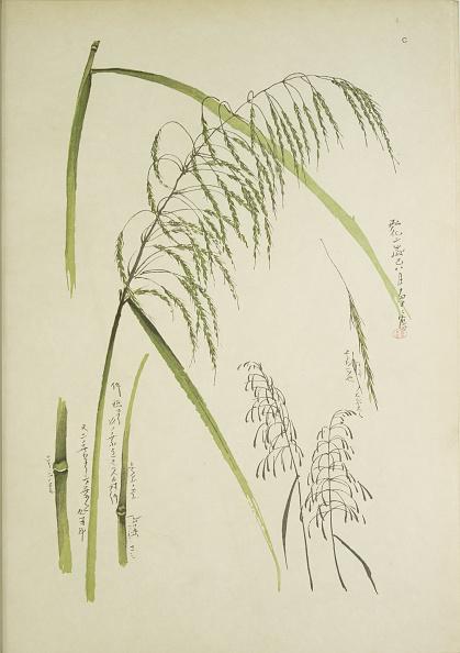 イネ科「Study Of Grass. From: Le Japon Artistique. Documents Dart Et Dindustrie Réunis,」:写真・画像(5)[壁紙.com]