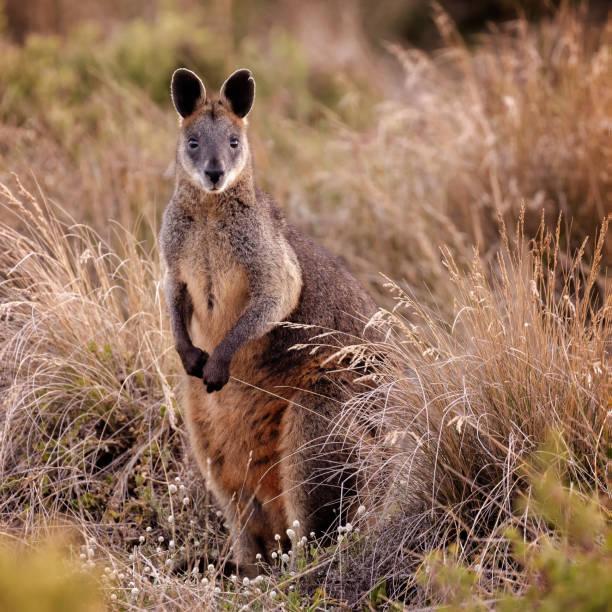 kangaroo:スマホ壁紙(壁紙.com)
