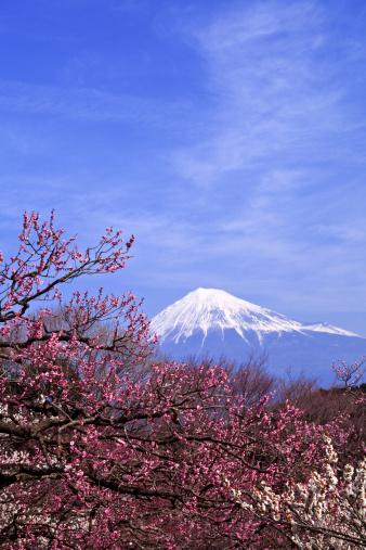 プラムの木「Plum Trees and Mt Fuji」:スマホ壁紙(9)