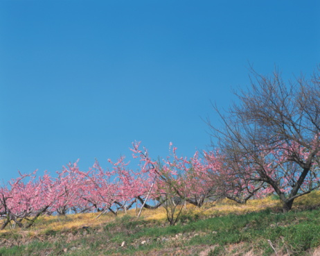 梅の花「Plum trees, Nara Prefecture, Honshu, Japan」:スマホ壁紙(8)