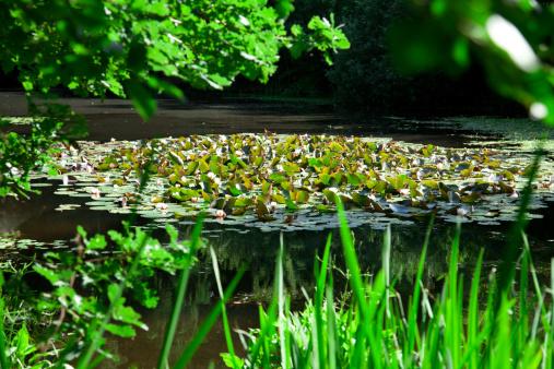 Water Lily「A little pond」:スマホ壁紙(0)