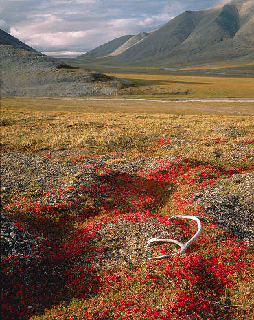 Arctic National Wildlife Refuge「Caribou Antlers in the Sadlerochit Mountains」:スマホ壁紙(9)