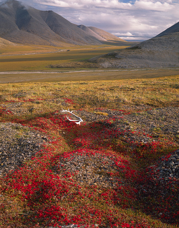 Arctic National Wildlife Refuge「Caribou Antlers on Bearberry Foliage」:スマホ壁紙(1)