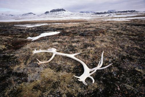 Baffin Island「Caribou antler laying on ground, Tundra, Baffin Island, Canada」:スマホ壁紙(13)