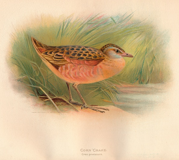 Animal Wildlife「'Corn Crake (Crex pratensis)', 1900, (1900)」:写真・画像(16)[壁紙.com]