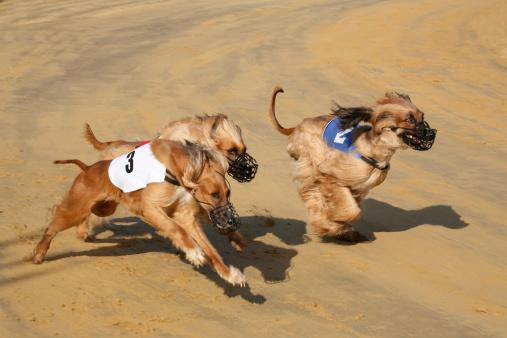 Competitive Sport「Greyhound race short after the start.」:スマホ壁紙(14)