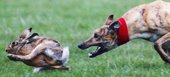 Hare「Annual Waterloo Cup Hare Coursing Event」:写真・画像(6)[壁紙.com]