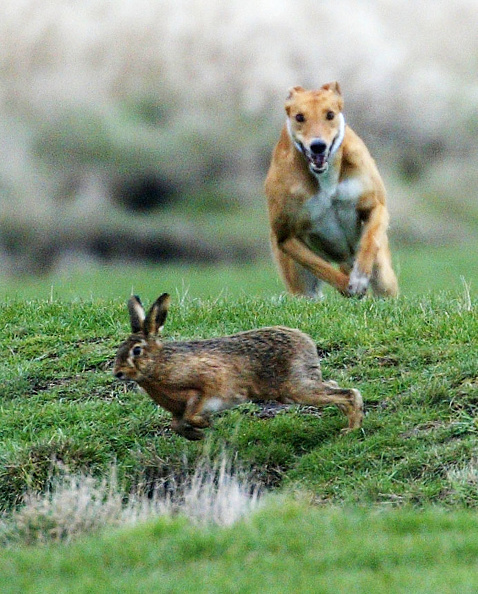Hare「Annual Waterloo Cup Hare Coursing Event」:写真・画像(7)[壁紙.com]