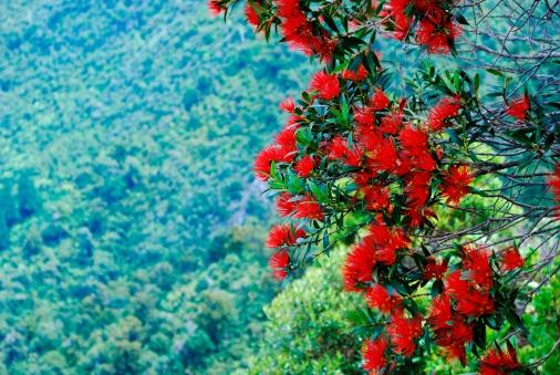 New Zealand Culture「Rata in Bloom (Metrosideros Umbellata)」:スマホ壁紙(15)