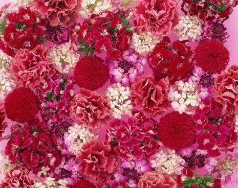 カーネーション「Various flower heads」:スマホ壁紙(1)