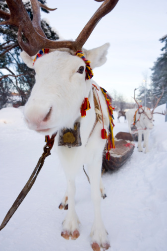 Reindeer Sledding「Sweden, Jokkmokk, reindeer in snow at winter fair」:スマホ壁紙(8)