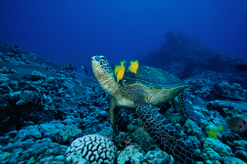 Green Turtle「Fish Cleaning a Green Turtle's Shell」:スマホ壁紙(16)