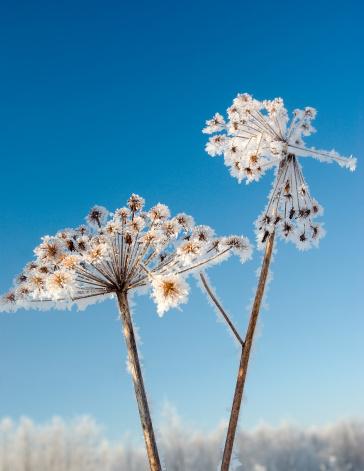 Snowdrift「Frozenned flower」:スマホ壁紙(7)
