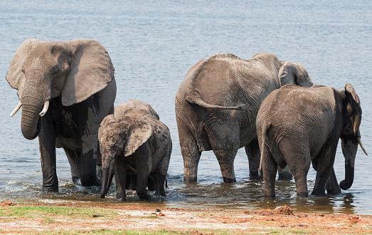 象「Elephants on Chobe river, Chobe National Park, Botswana」:スマホ壁紙(12)