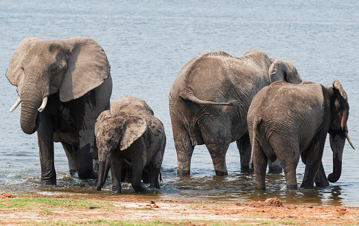 Elephant「Elephants on Chobe river, Chobe National Park, Botswana」:スマホ壁紙(17)