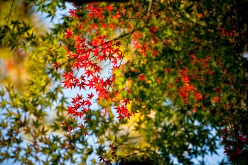 Japanese Maple「Light shines through a Japanese maple leaf tree in Kyoto, Japan.」:スマホ壁紙(17)