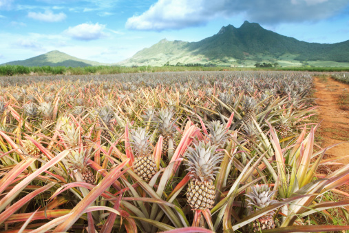 Mauritius「Pineapple field」:スマホ壁紙(8)