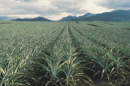 オアフ島「Pineapple field」:スマホ壁紙(9)