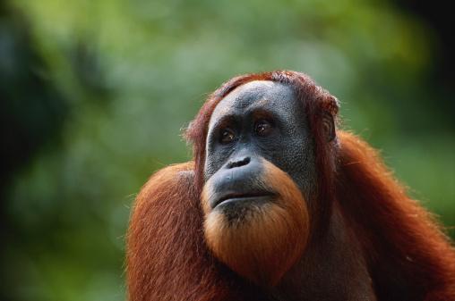 Animal Head「Orang utan (Pongo pygmaeus) close up, Gunung Leuser N.R, Indonesia」:スマホ壁紙(0)