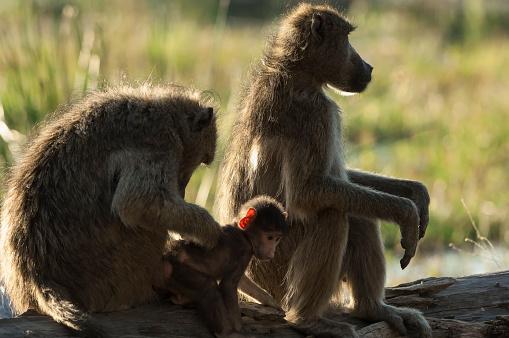 Grooming - Animal Behavior「Chacma baboon baby deloused by mother, Moremi Reserve, Okavango, Botswana」:スマホ壁紙(17)