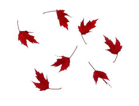 かえでの葉「Swirl of red autumnal maple leaves on white.」:スマホ壁紙(5)