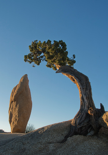 Single Tree「Granite and Juniper, Joshua Tree National Park, California」:スマホ壁紙(18)