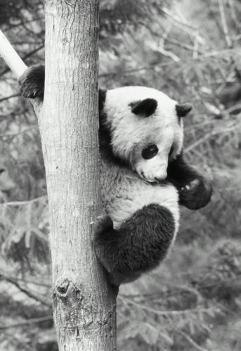 パンダ「China, Panda (Ailuropoda melanoleuca) climbing tree」:スマホ壁紙(2)