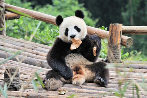 パンダ「中国のパンダ」:スマホ壁紙(14)