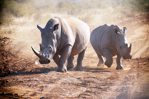 Poaching - Animal Welfare「Two white rhinoceros running and making dust in the Madikwe Game Reserve in South Africa」:スマホ壁紙(1)
