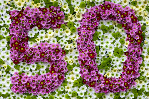 Chrysanthemum「purple and white flowers in a shape of number 50」:スマホ壁紙(11)