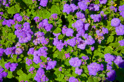果樹の花「Purple and green combination in Ageratum」:スマホ壁紙(12)