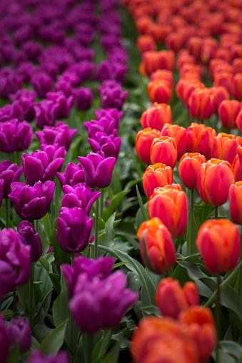 Keukenhof Gardens「Purple and red tulips at Keukenhof」:スマホ壁紙(1)