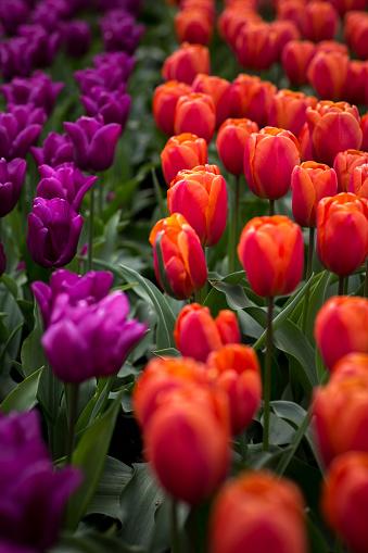 Keukenhof Gardens「Purple and red tulips at Keukenhof」:スマホ壁紙(13)