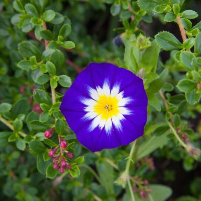 ペチュニア「Purple and white petunia」:スマホ壁紙(15)