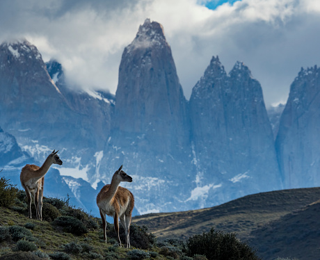 Guanaco「guanaco (Lama guanicoe) with the towers of Torres del Paines」:スマホ壁紙(1)