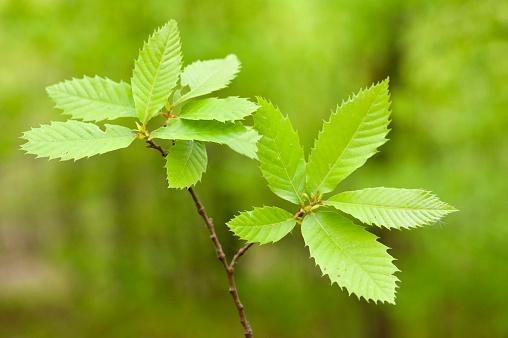 Chestnut Tree「Horse chestnut」:スマホ壁紙(19)