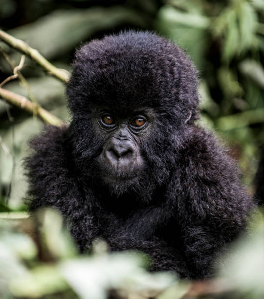 Young mountain gorilla in the Virunga National Park, Africa, DRC, Central Africa.:スマホ壁紙(壁紙.com)