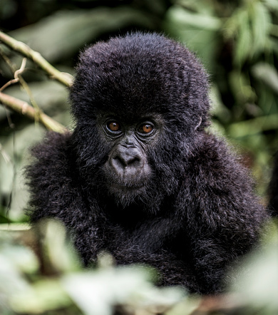 コンゴ民主共和国「Young mountain gorilla in the Virunga National Park, Africa, DRC, Central Africa.」:スマホ壁紙(16)