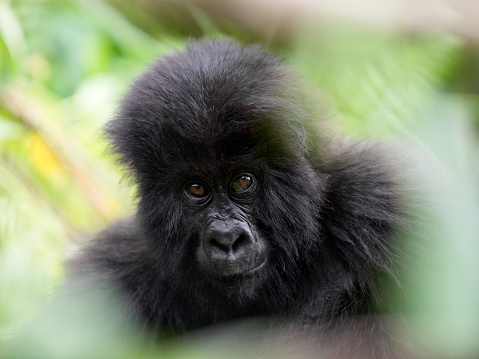 コンゴ民主共和国「Young mountain gorilla in the Virunga National Park, Africa, DRC, Central Africa.」:スマホ壁紙(15)