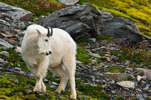 Exit Glacier「A Young Mountain Goat Billy Is Grazing On Plants Near The Harding Icefield Trail At Exit Glacier In Kenai Fjords National Park In Southcentral Alaska, Summer」:スマホ壁紙(11)