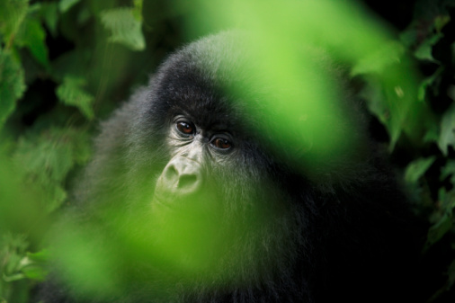 Goma「Young mountain gorilla sitting in bushes, differential focus」:スマホ壁紙(19)