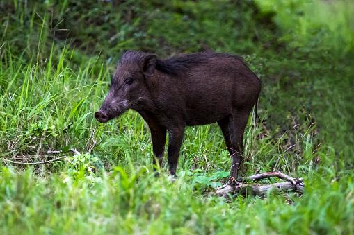 猪「Indian boar (Sus scrofa cristatus) )」:スマホ壁紙(2)