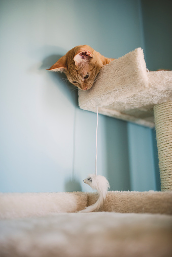 子猫「Tabby kitten lying on scratching post watching cat toy」:スマホ壁紙(13)