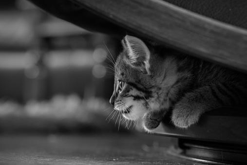 子猫「Tabby kitten hiding under furniture」:スマホ壁紙(3)