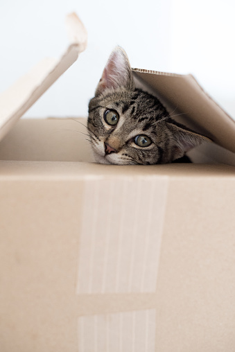 Kitten「Tabby kitten in a cardboard box」:スマホ壁紙(3)